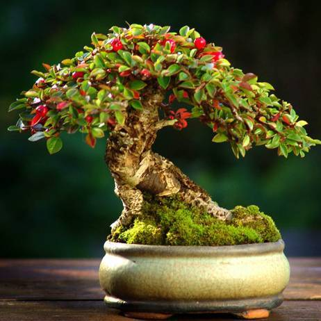 bonsai-melograno_O4